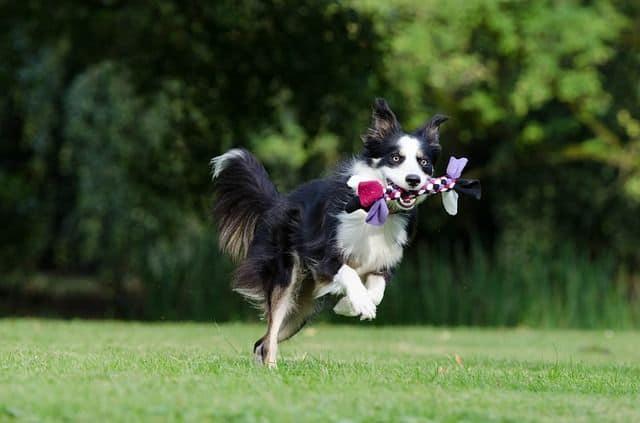 Razas de perro: hoy el Border Collie