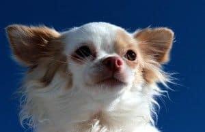 Razas de perro : hoy, el perro más pequeño del mundo