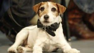 Perros estrella, hoy: Uggie