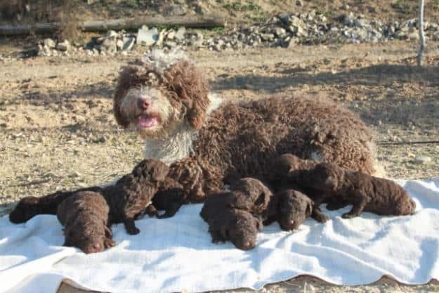 Especial Razas Españolas: hoy, el Perro de Aguas Español