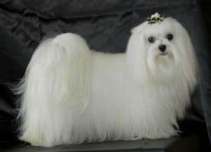 Razas de perro: hoy, el Bichón Maltés