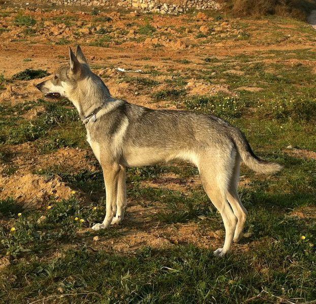 Especial Razas Españolas,hoy: el Lobo Herreño