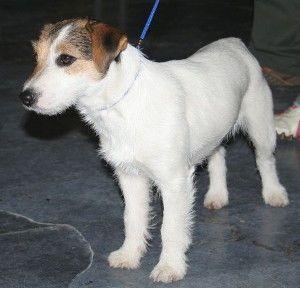 jack russell terrier by Pleple2000