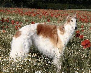 Razas de perros, hoy: el Borzoi