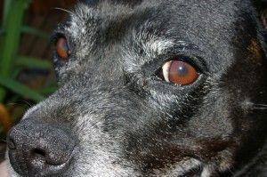Aprende a limpiarle los ojos a tu perro