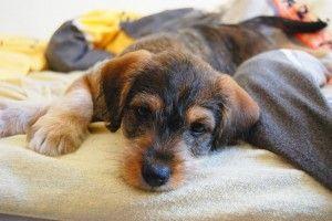 Trastornos alimenticios más comunes del cachorro II
