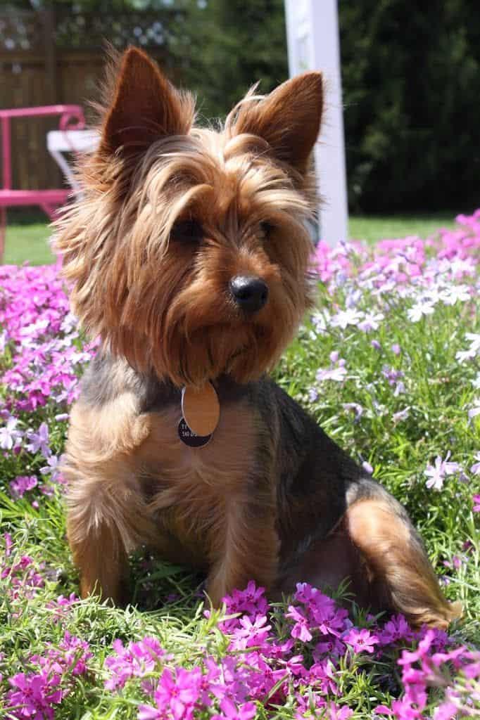 Razas de perro, hoy: el Yorkshire Terrier