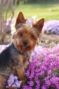 cachorro yorki
