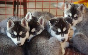 puppy husky