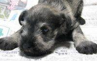 Cachorro de color gris