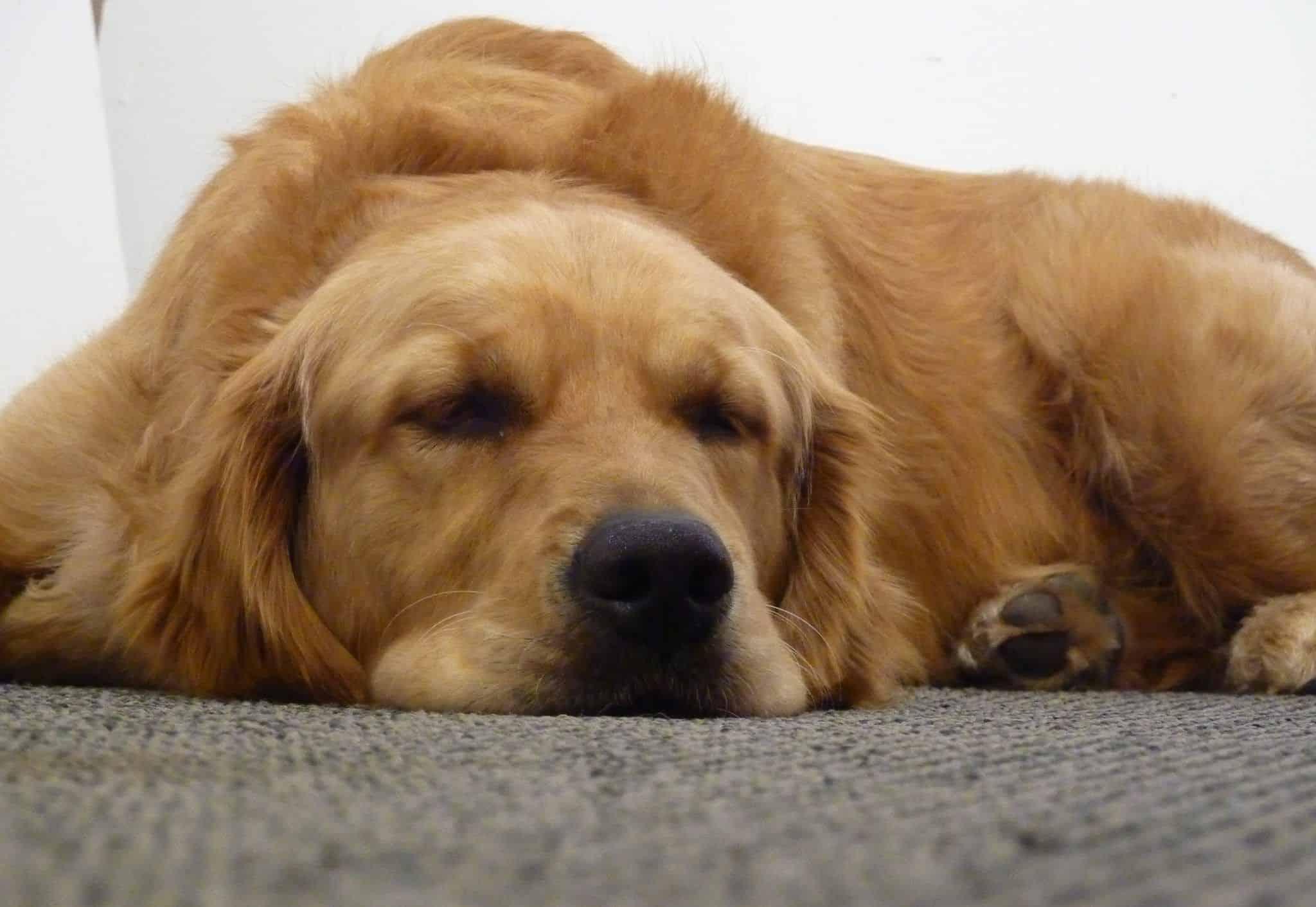 Golden Retriever durmiendo