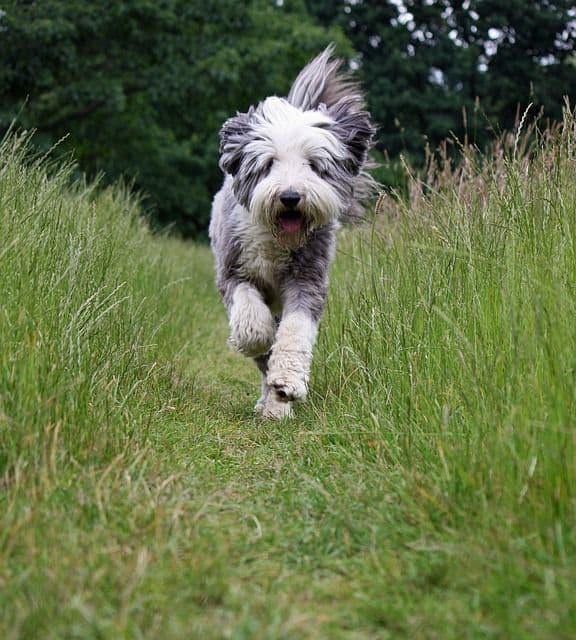 Razas de perro: Bearded Collie