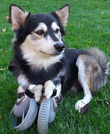 Perros estrella: Derby, un husky con patas 3D