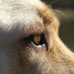 Ojos caninos