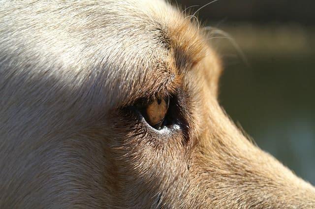 Cataratas en los perros