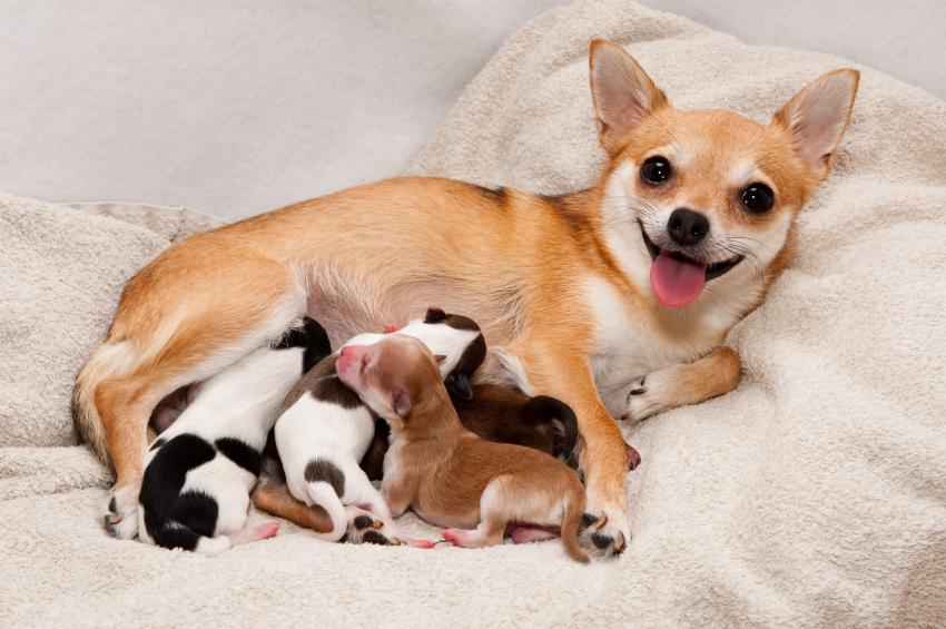 Mastitis, una infección muy peligrosa para tu perra y sus cachorros