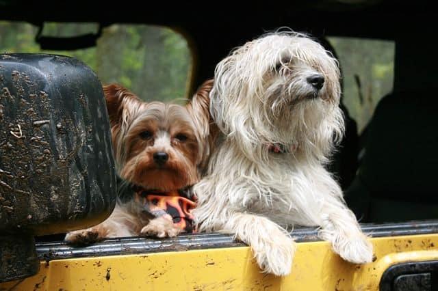 perros en coche
