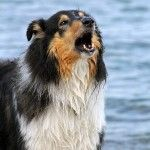 Rough Collie ladrando