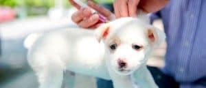 cuando se vacunan los cachorros