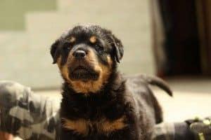 Razas de perros: el Rottweiler