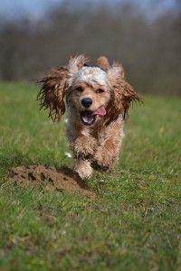 Razas de perros: Cocker Spaniel Americano