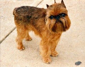 Razas de perros: el Grifón de Bruselas