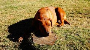 Rhodesian Ridgeback, el perro que caza leones