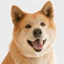 Razas de perros: el Akita Inu