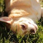 chihuahua en la hierba