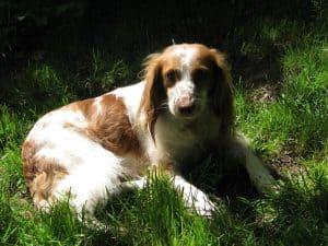 Razas de perros: el Épagneul bretón