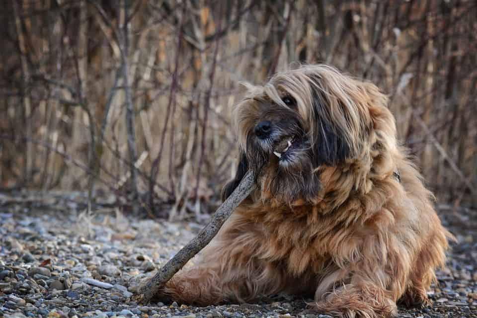 ¿Por qué pierde pelo tu perro?