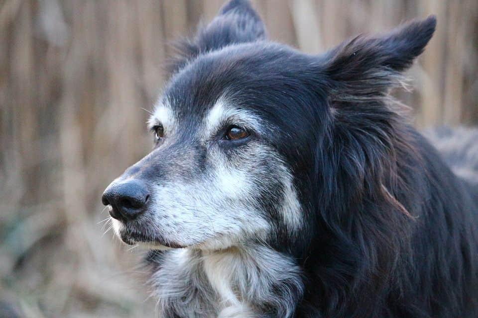 ¿Cuál es la esperanza de vida de un perro?