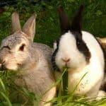 Conejos comiendo hierba