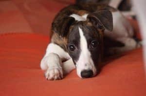 Razas de perros: el Whippet