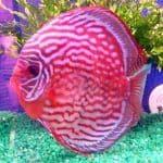pez disco cria