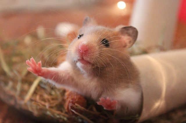 Hamster marrón