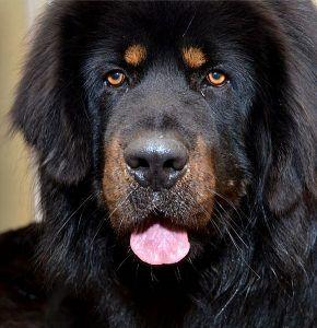Razas de perros: el Mastín Tibetano