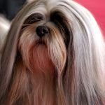 Lhasa Apso By Lilly M