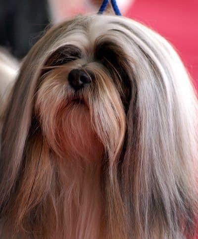 Razas de perros: Lhasa Apso
