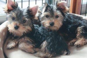 adoptar cachorro yorkshire