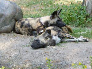 que come el perrro salvaje africano
