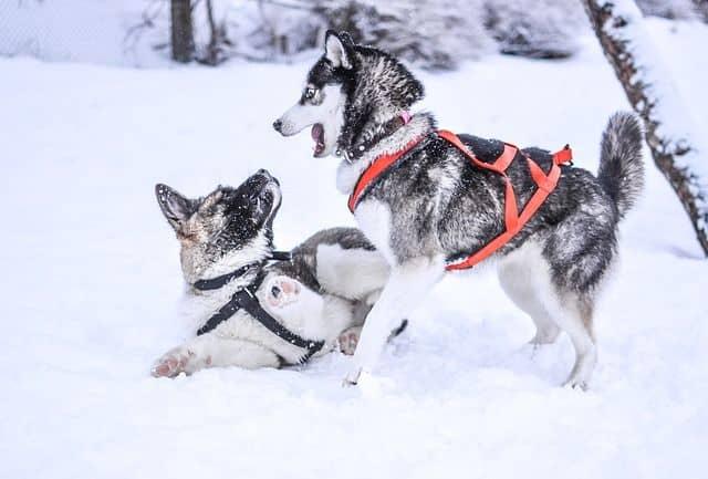 Como ir con tu perro a la nieve