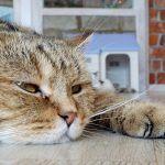 Gato apático