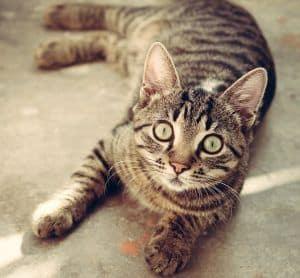 pipetas pulgas gatos