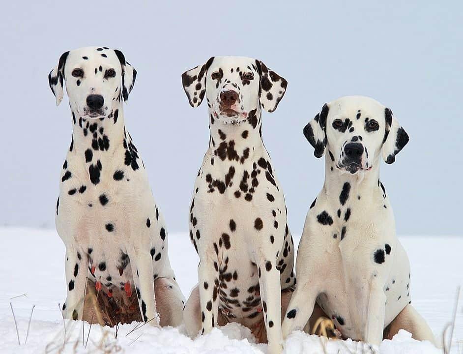 ¿Cuáles son las razas de perros más famosas?