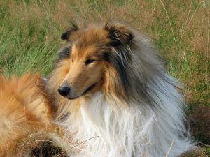 lassie es un collie