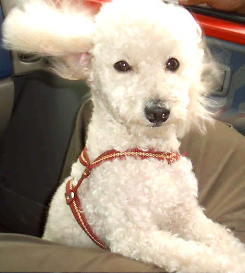 Viajar con mi perro en coche 1