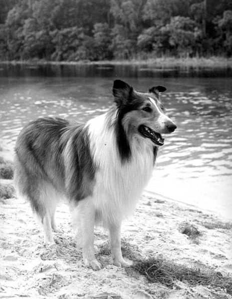 Perros estrella, hoy: Lassie 2