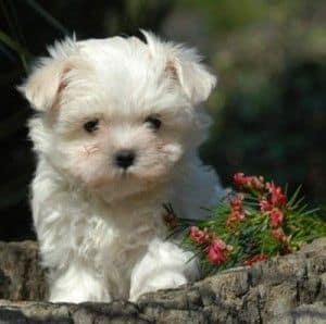 Cachorro Maltés