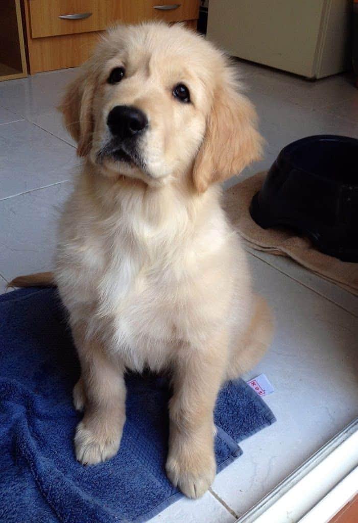 Razas de perro, hoy: el Golden Retriever